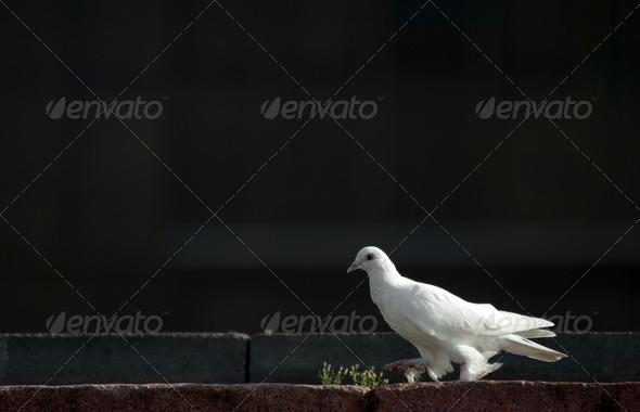 Dove - Stock Photo - Images