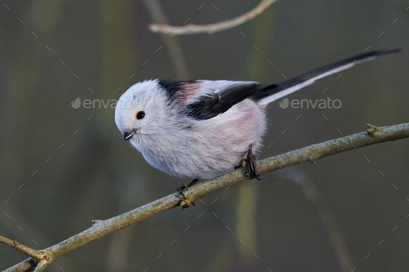 Long-tailed tit (Aegithalos caudatus) - Stock Photo - Images
