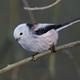 Long-tailed tit (Aegithalos caudatus) - PhotoDune Item for Sale