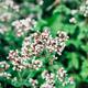 oregano or origanum vulgare plant flower buds close-up on green leaves background - PhotoDune Item for Sale