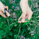 womans hand cutting fresh oregano plant close-up - PhotoDune Item for Sale