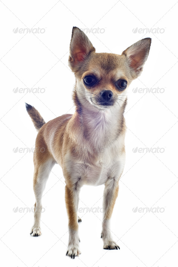 short hair chihuahua - Stock Photo - Images
