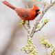 Northern Cardinal - PhotoDune Item for Sale