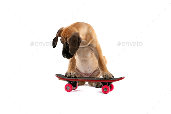 great dane puppy dog on a skateboard - Stock Photo - Images