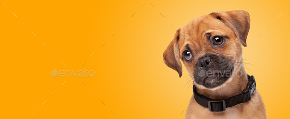 pugalier puppy portrait - Stock Photo - Images
