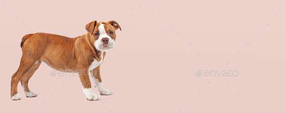 Renascence Bulldog - Stock Photo - Images