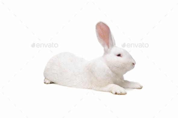 big white rabbit - Stock Photo - Images