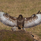 Common buzzard (Buteo buteo) - PhotoDune Item for Sale