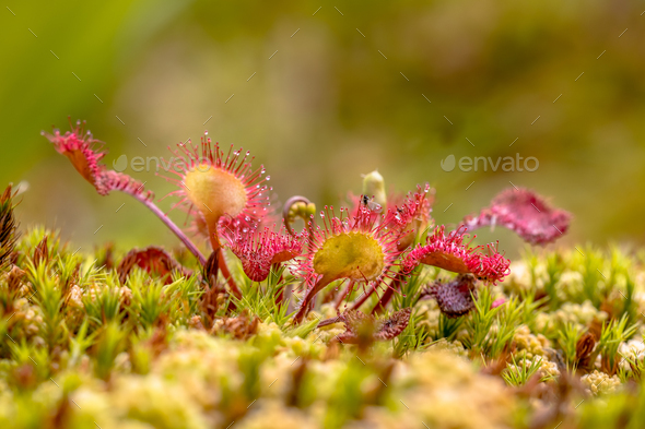 Round leaved sundew green background - Stock Photo - Images