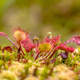 Round leaved sundew green background - PhotoDune Item for Sale