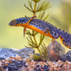 Alpine newt aquatic animal swimming in freshwater habitat - PhotoDune Item for Sale