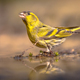 Eurasian Siskin drinking from shallow pond - PhotoDune Item for Sale