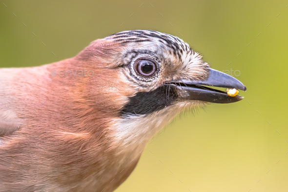 Curious Eurasian Jay head on bright background - Stock Photo - Images