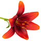 Beautiful flower of asian lily, isolated on white background - PhotoDune Item for Sale