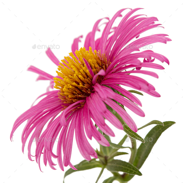 Pink  flower of aster, isolated on white background - Stock Photo - Images