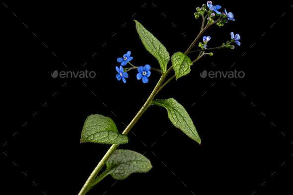 Blue flower of brunnera,  forget-me-not, myosotis, isolated on black background - Stock Photo - Images