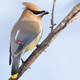 Cedar Waxwing - PhotoDune Item for Sale