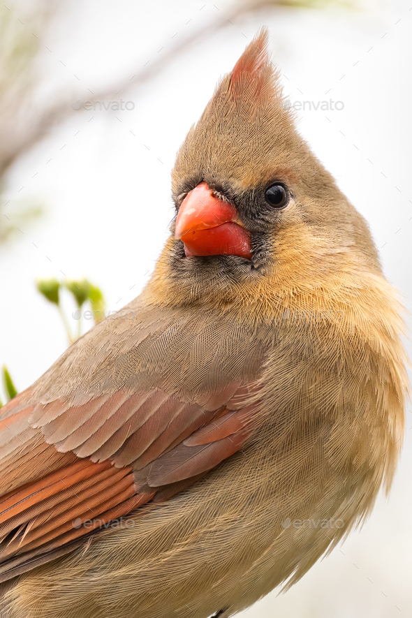 Northern Cardinal - Stock Photo - Images