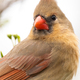 Northern Cardinal - PhotoDune Item for Sale