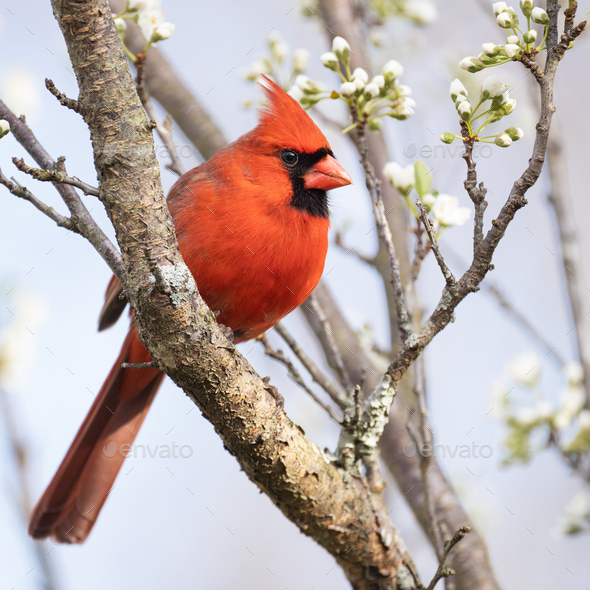 Northern Cardinal in Plum Tree - Stock Photo - Images