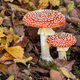 Group of red fly agaric musrooms - PhotoDune Item for Sale