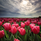 red tulip field in Netherlands - PhotoDune Item for Sale