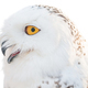 White Arctic Owl, Bubo scandiacus, Nyctea scandiaca, against white background, isolate - PhotoDune Item for Sale