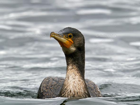 Great cormorant (Phalacrocorax carbo) - Stock Photo - Images
