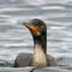 Great cormorant (Phalacrocorax carbo) - PhotoDune Item for Sale