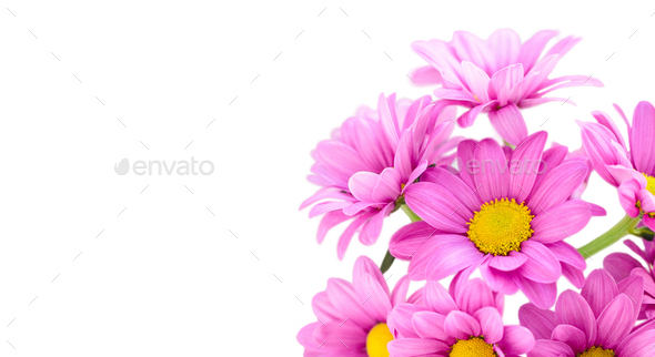 Chrysanthemum (Indicum Grp) tros Morreno Pink isolate - Stock Photo - Images