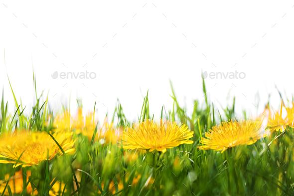 Dandelion flowers - Stock Photo - Images