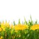 Dandelion flowers - PhotoDune Item for Sale