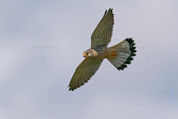 Common kestrel (Falco tinnunculus) - Stock Photo - Images