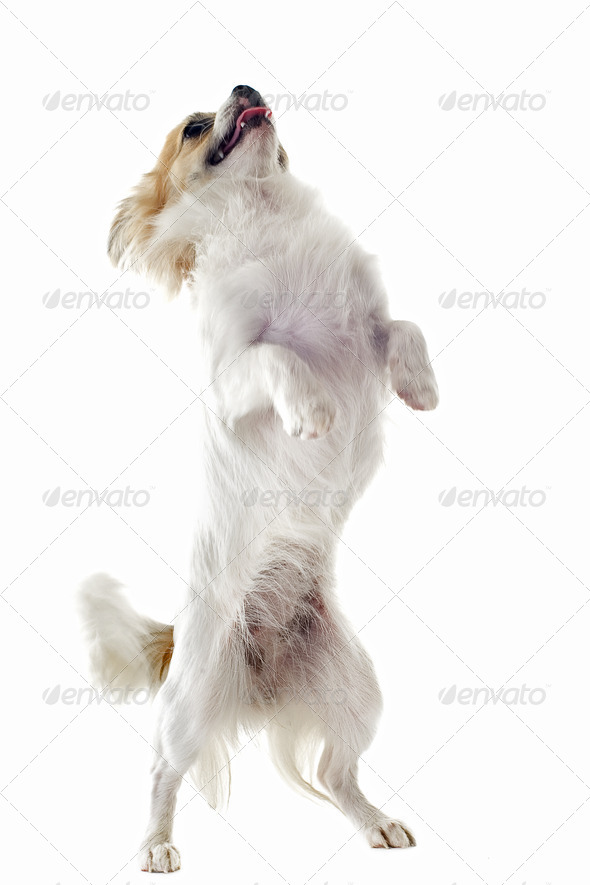 chihuahua upright - Stock Photo - Images