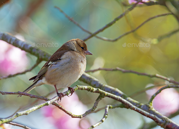Female common chaffinch bird sitting on a tree - Stock Photo - Images
