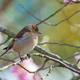 Female common chaffinch bird sitting on a tree - PhotoDune Item for Sale