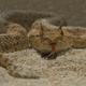 Saharan Sand Viper Snake Cerastes Vipera - PhotoDune Item for Sale