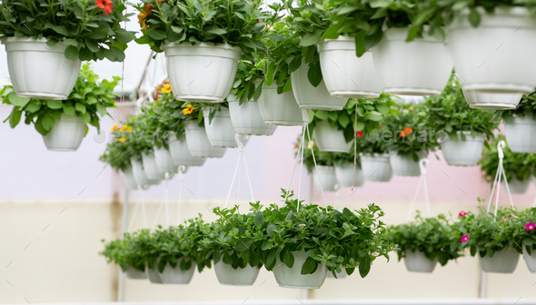 Spring blooming, plant industry and growth beautiful petunias in modern smart orangery - Stock Photo - Images