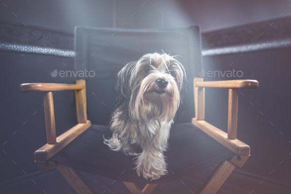 Biewer dog portrait in studio - Stock Photo - Images