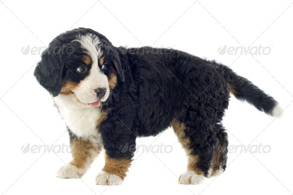 puppy bernese moutain dog - Stock Photo - Images