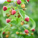 Ripe red raspberry in the fruit garden, raspberry bushes - PhotoDune Item for Sale