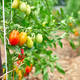 Ripe tomatoes in garden, fresh red vegetable hanging on branch - PhotoDune Item for Sale
