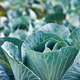 Rows of fresh cabbage plants on the field, autumn harvest, cabbage are growing in garden - PhotoDune Item for Sale