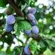 Ripe plum fruit on tree, branch of plum tree. - PhotoDune Item for Sale
