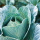 Fresh cabbage plants on the field, autumn harvest, cabbage are growing in garden - PhotoDune Item for Sale