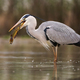 Grey heron hunting for a fish in river in springtime nature - PhotoDune Item for Sale