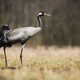 Common crane walking on meadow with dry grass in springtime nature - PhotoDune Item for Sale
