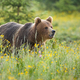 Brown bear standing on blooming meadow in summer nature - PhotoDune Item for Sale