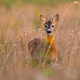 Young roe deer buck looking to the camera on dry field in summer - PhotoDune Item for Sale