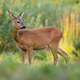 Roe deer female observing on growing meadow in evening sunlight - PhotoDune Item for Sale